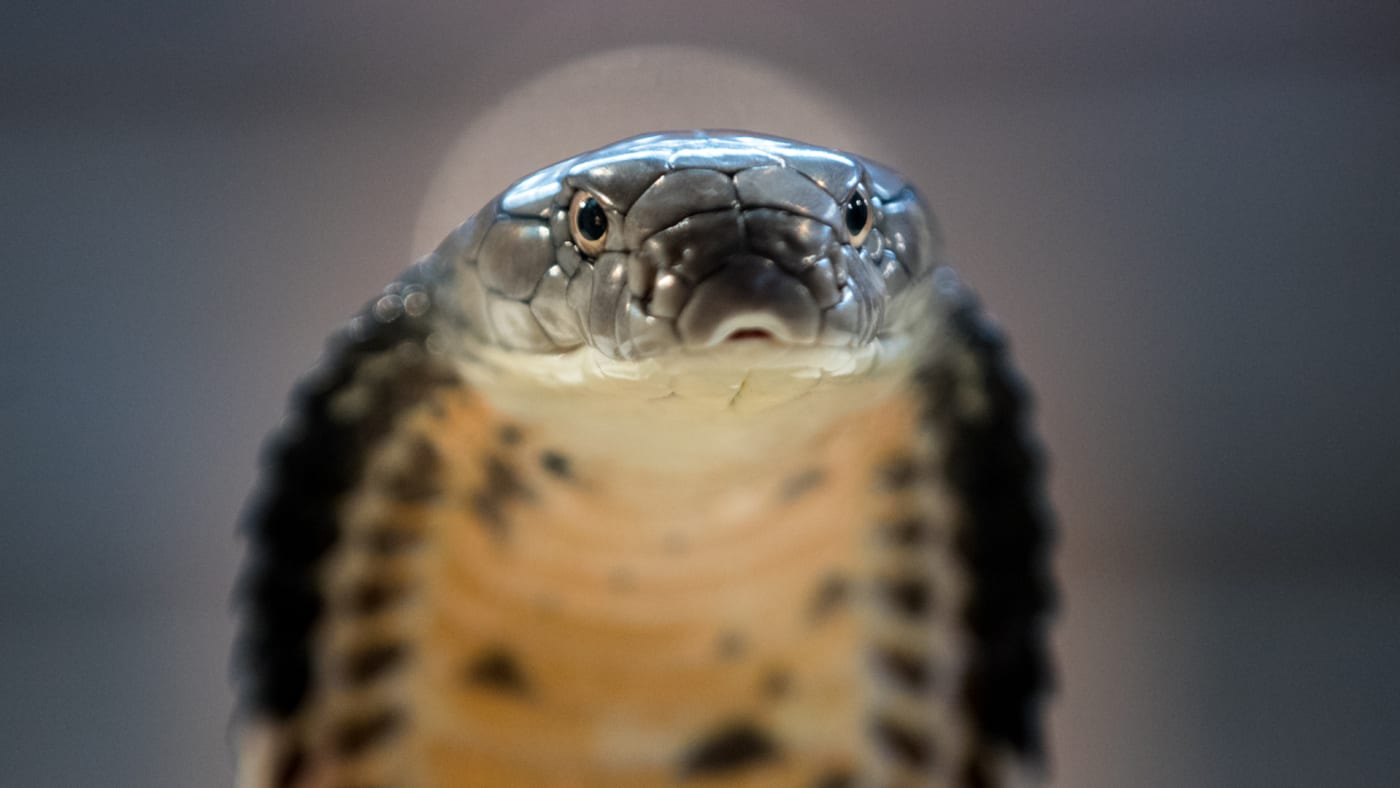 A King Cobra is displayed to the public at Noah's Ark Zoo Farm.
