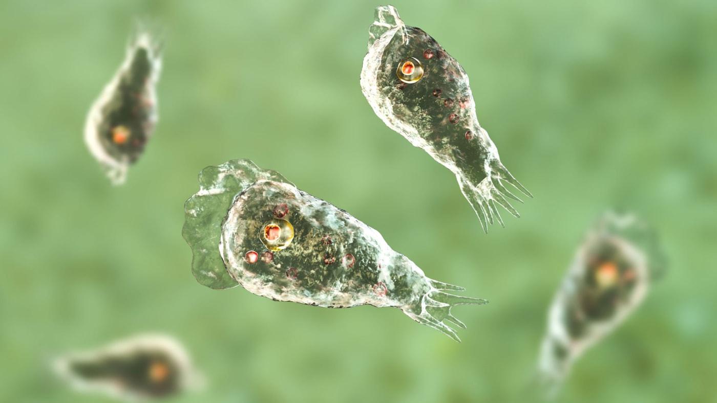Brain-eating amoeba Naegleria fowleri protozoans in trophozite form.