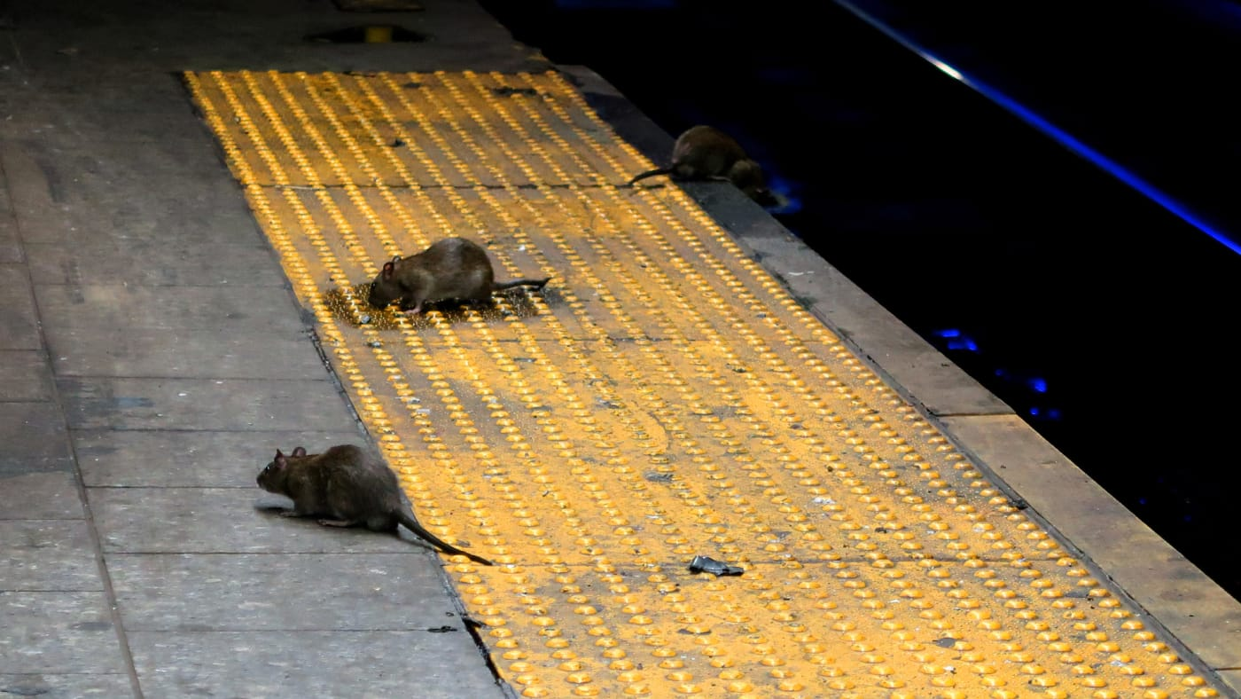 Three rats scavenge for food on the subway platform at Herald Square.