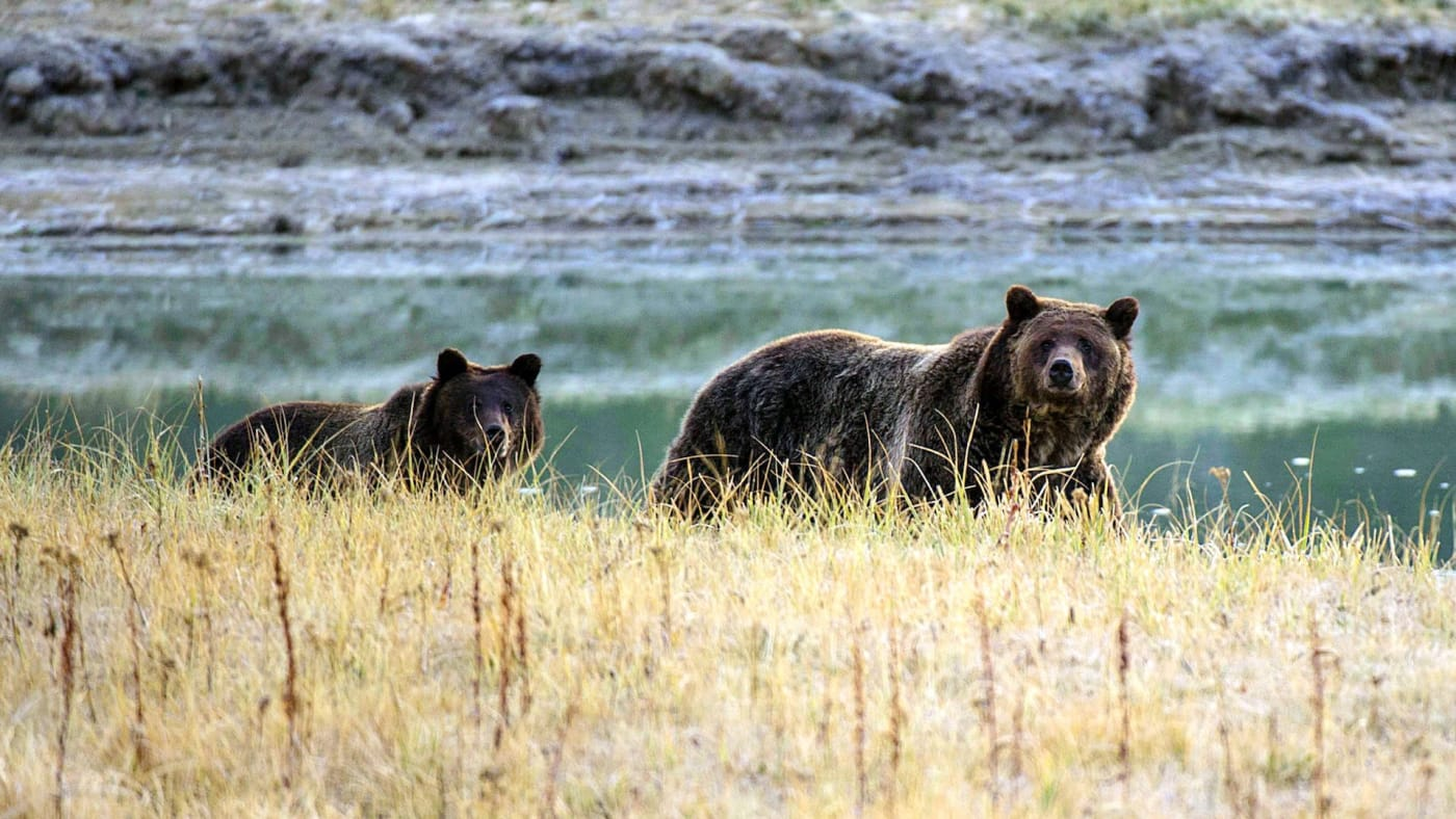 grizzly-attack-yellowstone
