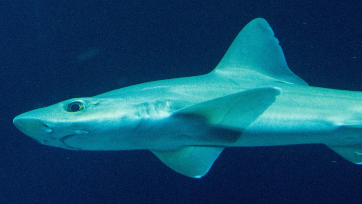 """A smooth shark swims in the basin """"Open Atlantic"""" of the Ozeaneum."""