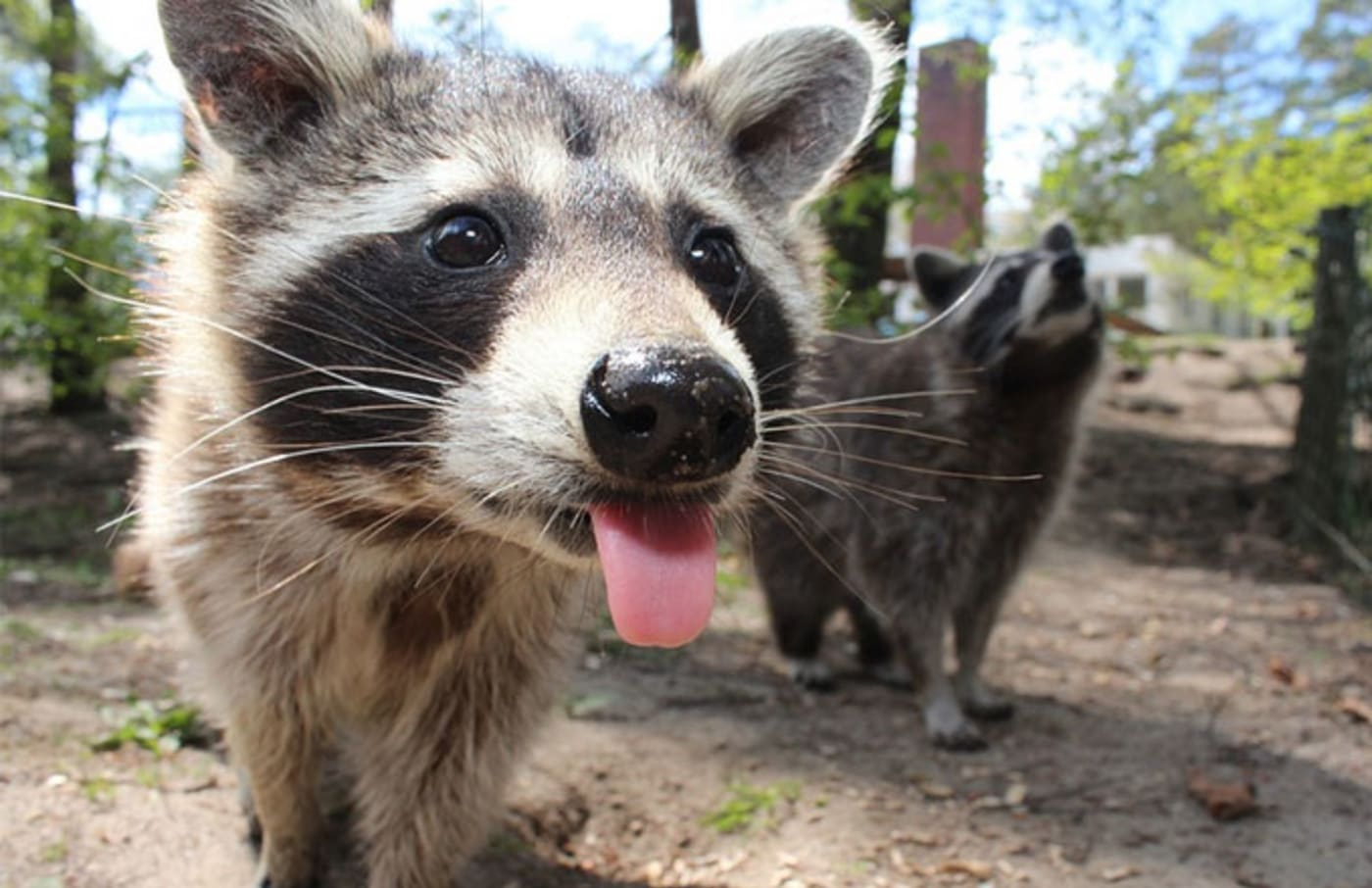 A super thirsty raccoon.
