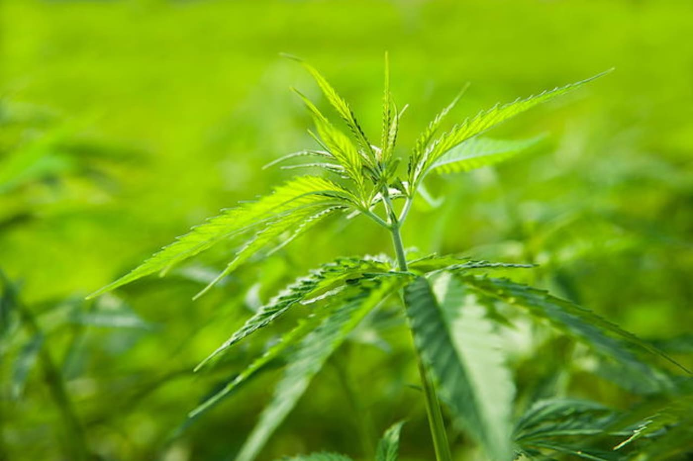 This is a picture of weed.