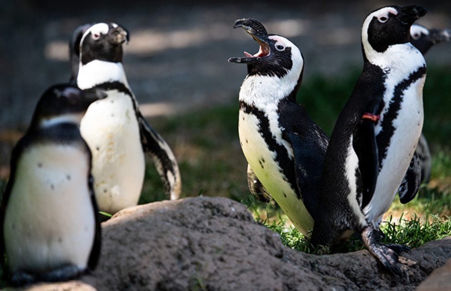 yellin' penguin