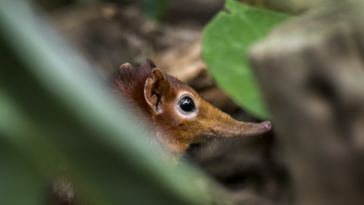 Tiny Elephant Shrew Species Rediscovered 50 Years After Last Recorded Sighting