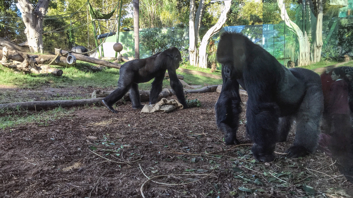 San Diego Zoo Gorillas Test Positive for Coronavirus