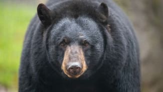 """Black bear """"Honey"""" can be found in the black bear enclosure"""