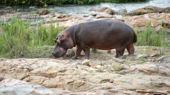 A hippopotamus is pictured near the 13th green
