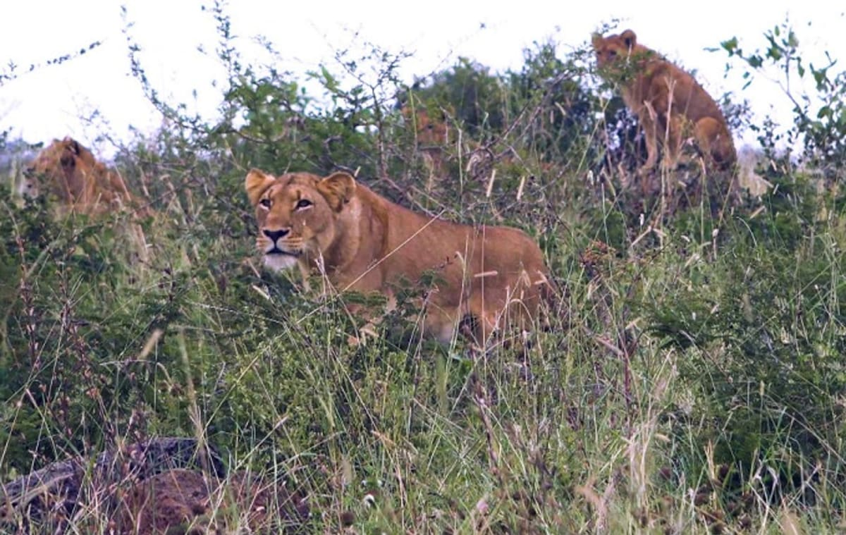 King Auto Center >> Lion Pack Eats Suspected Poacher in South Africa | Complex