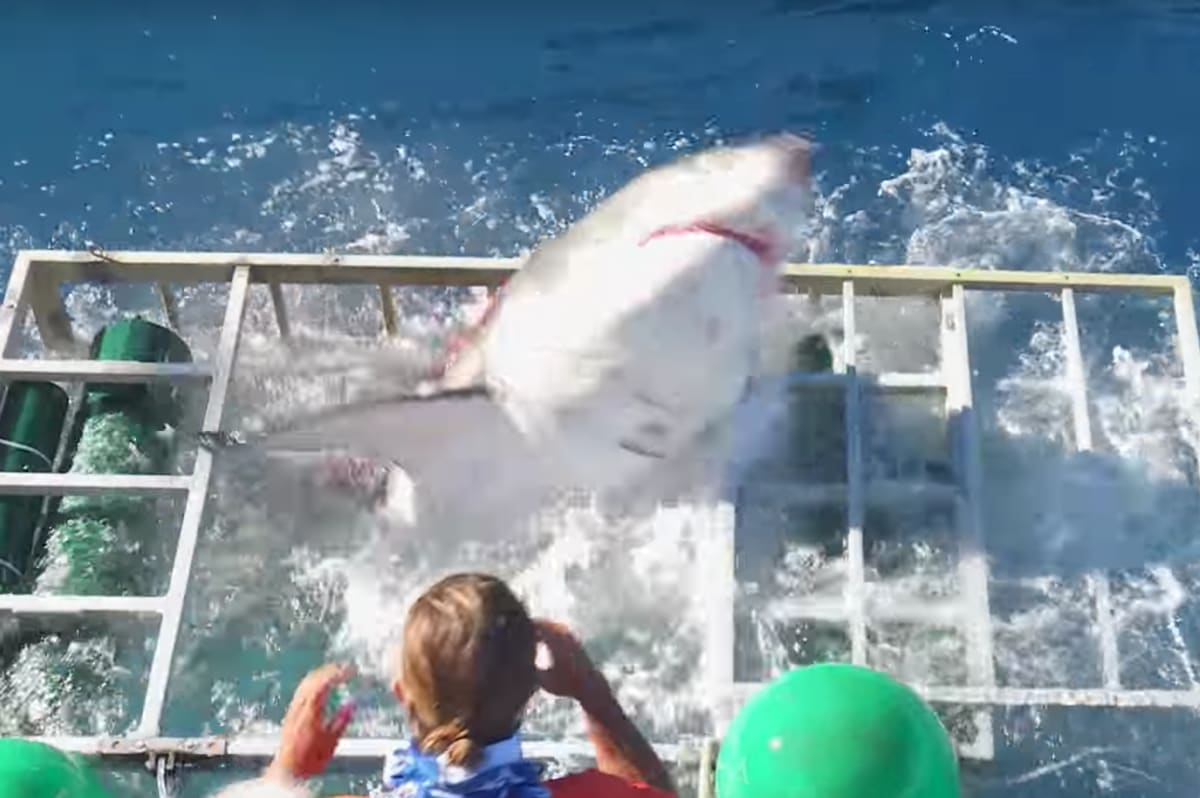 Watch This Shark Break Through A F Cking Cage While Diver