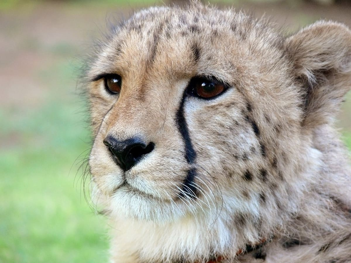 Cheetahs, Elephants, and Giraffes Among Endangered Species Facing Extinction, Say Experts