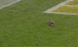 Squirrel stops play during the Colts versus Packers game