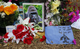 """A poll to name a baby gorilla at a Chinese zoo was reportedly won by """"Harambe McHarambeface""""—but it's probably fake."""