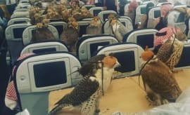 Falcons on plane