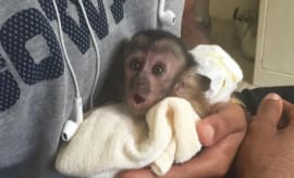 Dez Bryant's pet monkey Dallas.