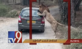 Lion attacks car at safari
