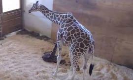 april the giraffe