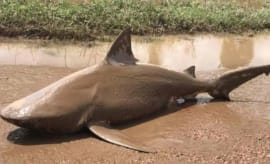 A five-foot long bull shark that was thrown onto Australia's mainland by Cyclone Debbie.
