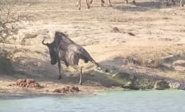 Wildebeest being dragged into the water by a crocodile