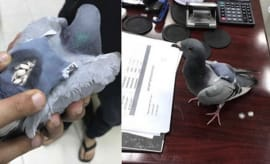 A pigeon gets busted trying to smuggle ketamine in a tiny backpack.