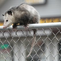 An opossum sits on top of a fence on Broadway in Lawrence, MA