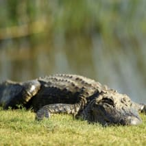 An alligator on the 18th green during the final round of the Zurich Classic