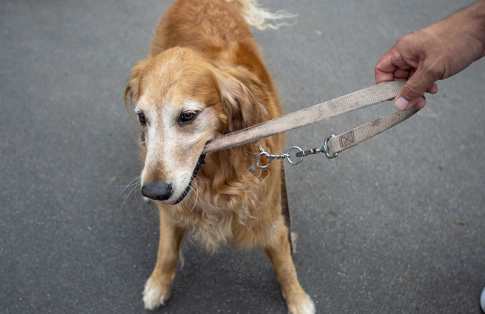 A golden retriever plays tug of war with its leash.