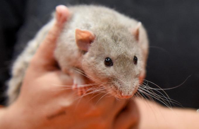 A rat enjoys a hug at The National Pet Show