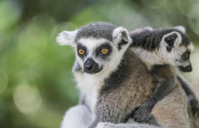 A ring-tailed lemur sits on a tree during World Lemur Day celebration at Bali Zoo.