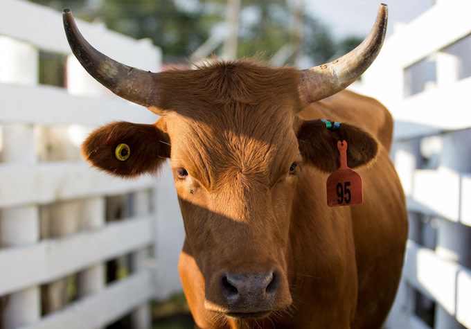 This is a photo of a steer.