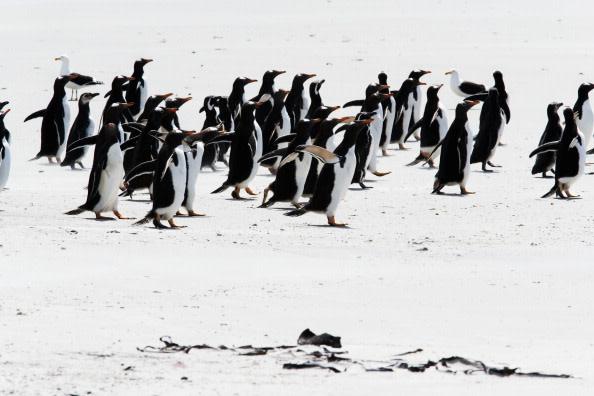 penguins-pebble-island