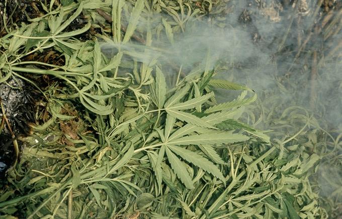 thailand-marijuana