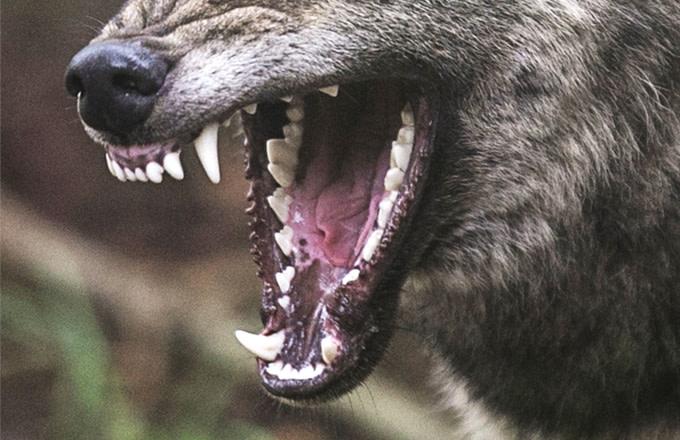 wolf-getty-matt-cardy