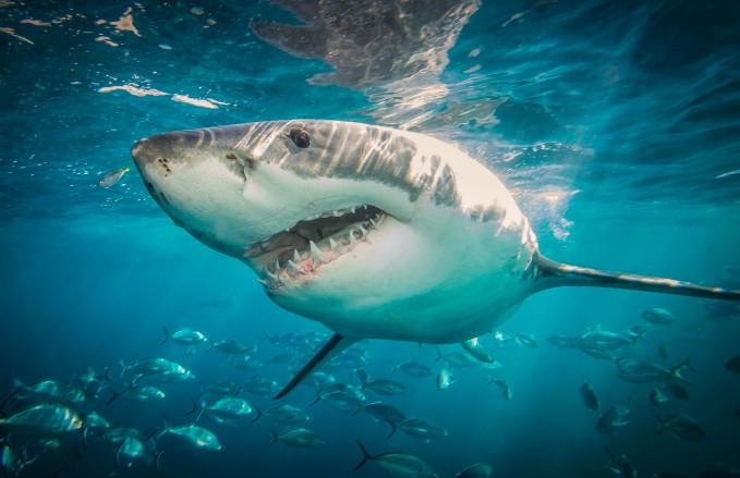 A great white shark heads towards the camera