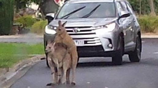 A driver ominously watches two kangaroos do the dirty deed