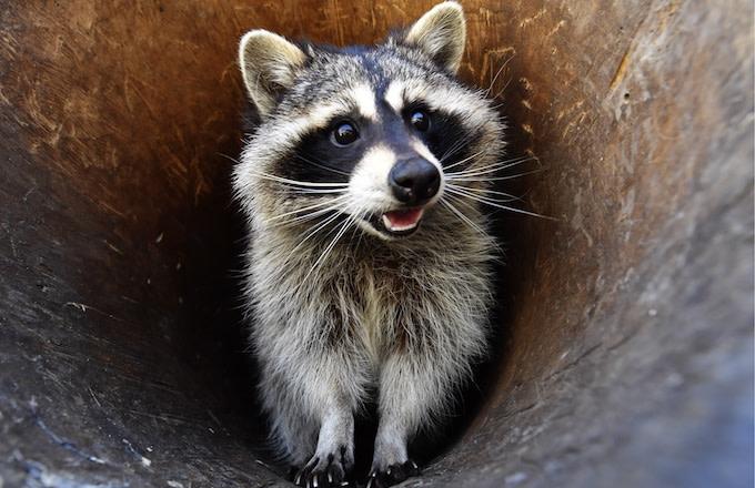 Stoned Raccoon