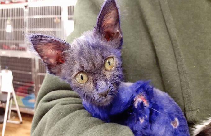 Cat Dyed Purple