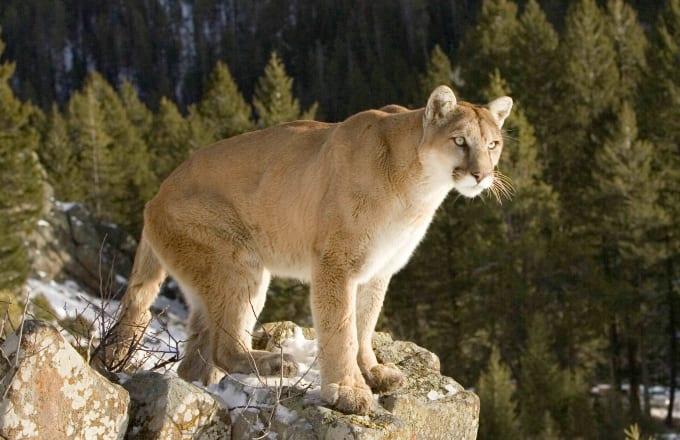 Puma standing on rocky perch North America
