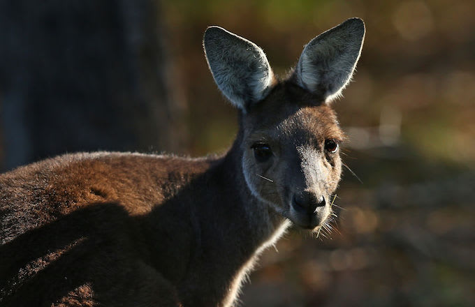 Kangaroo mobs
