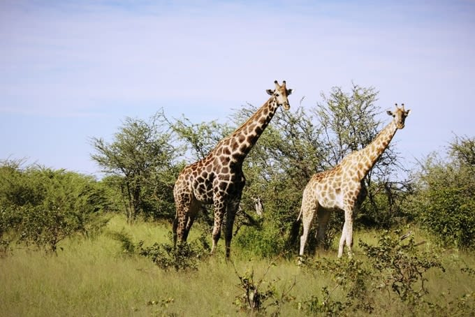 Giraffes at Moremi Game Reserve