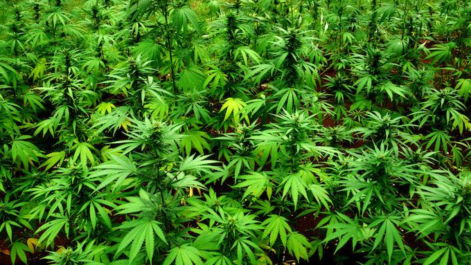 Marijuana plants in Jamaica