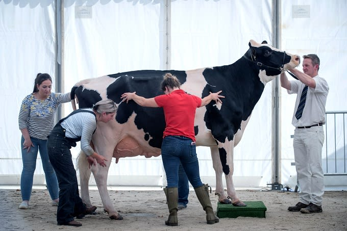 People Are Obsessed With This Really Big Cow Called Knickers Complex