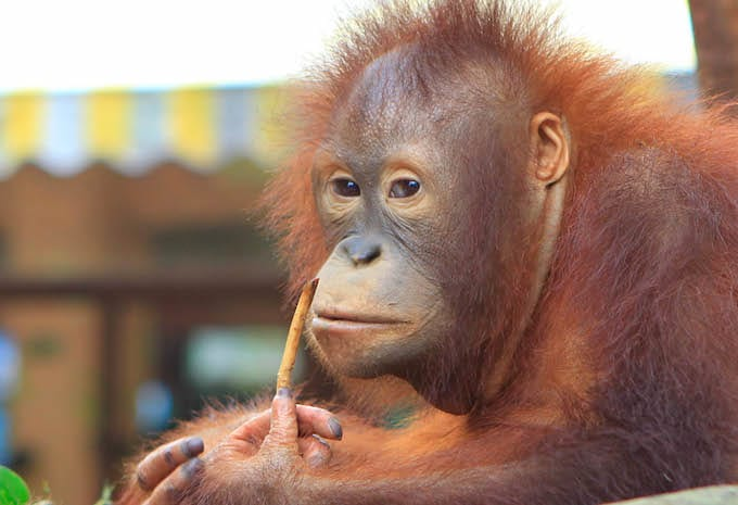 Russian Passenger Caught Trying to Smuggle an Orangutan Onto Airplane