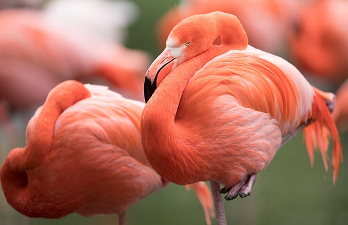 Flamingo at Miller Park Zoo Euthanized After Kid Threw Rock at It