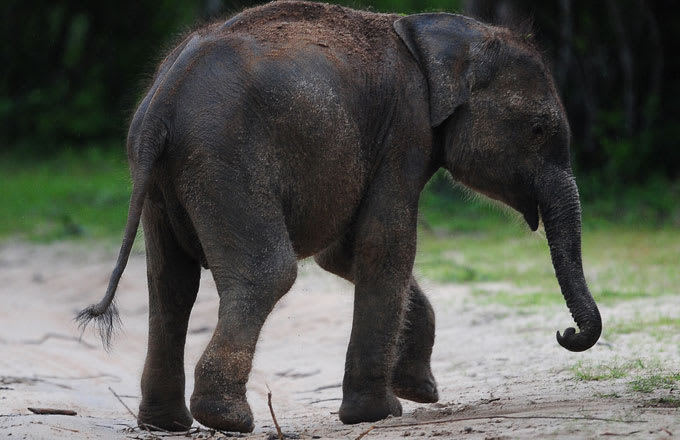 Two-Year-Old Elephant Dies After Being Forced to Perform Tricks For Tourists at Thailand Zoo