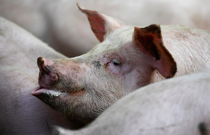 Yale Scientists Partially Revived the Brains of Dead Pigs