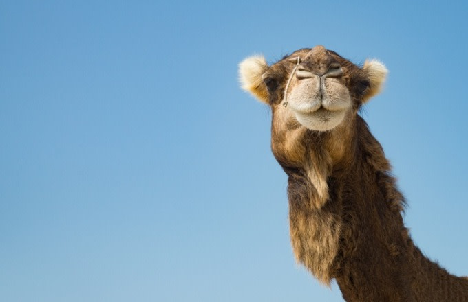 Woman Bites Camel's Testicles During Truck Stop Encounter: 'The Camel Did Nothing Wrong'