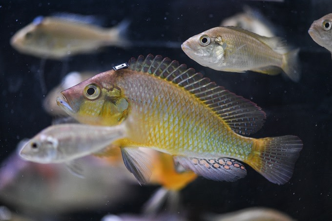 Fish Can Get Sad About Losing Their Partners, Study Finds