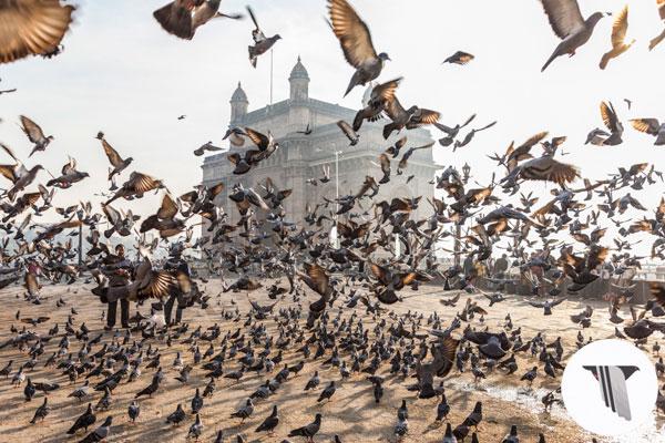 pigeonlead