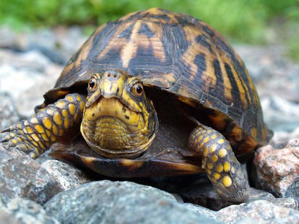 eastern-box-turtle